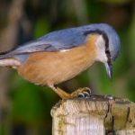 """Τα ειδη των πουλιων """"τσοπανακος"""" στην Ελλαδα."""