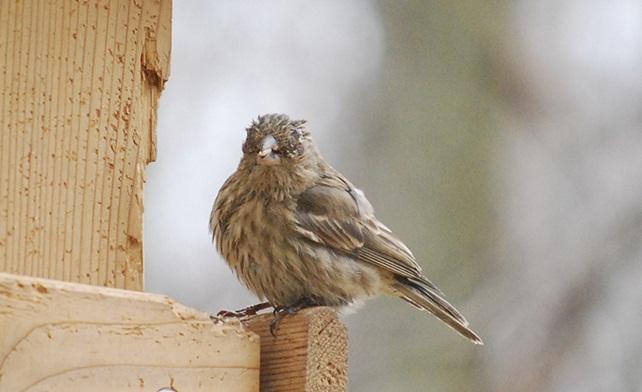 Παθήσεις των ματιών στα πουλιά.