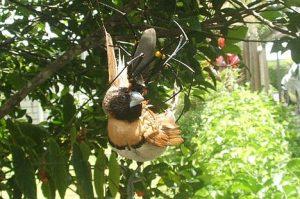 αράχνη-πουλί