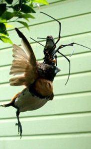 αράχνη-πουλί3