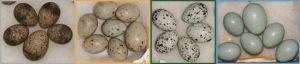 αυγά-κουκου