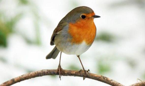 Κοκκινολαίμης το πουλί των Χριστουγέννων!!!