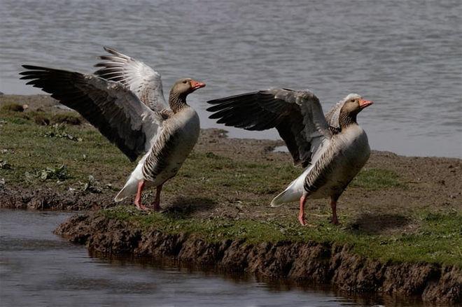 Πουλιά και ομοφυλοφιλική συμπεριφορά!!!