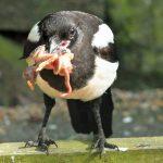 Καρακάξες και άλλα κορακοειδη αποτελουν σοβαρό πρόβλημα για τα ωδικά πτηνά της χώρας μας…