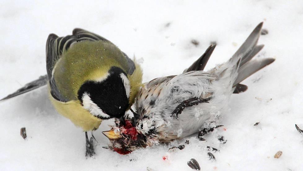 Επίθεση καλόγερου σε σπουργίτι.Βιντεο Σοκαριστικό που το τρώει!!