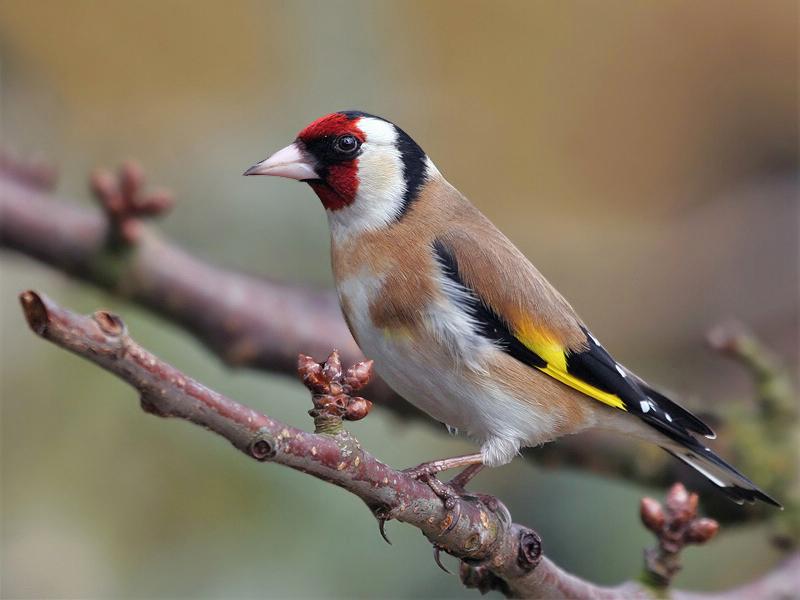 Καρδερίνα… Ένα πανέξυπνο πουλί!!!