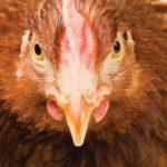 Η κότα έκανε το αυγό η το αυγό την κότα! Έρευνα χρονολογεί το πτηνό στο 7.500 π.Χ. – Ποιοι ήταν οι πρόγονοί του?