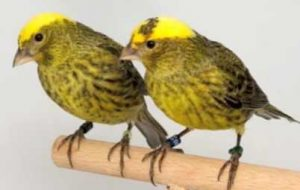 lizard-canary-pair