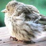 Οταν διαγνωστεί ασθένεια σε ένα πουλί, ξεκινάμε άμεσα θεραπεία. Πότε χορηγούμε κοκκιδιοστατικα και πότε κοκκιδιοκτονα?