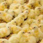 Διαφοροποίηση του φύλου στα κοτόπουλα ενώ είναι ακόμα μέσα στο αυγό!