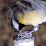 Παπαδιτσα ένα έξυπνο πουλί που πίνει γάλα!!