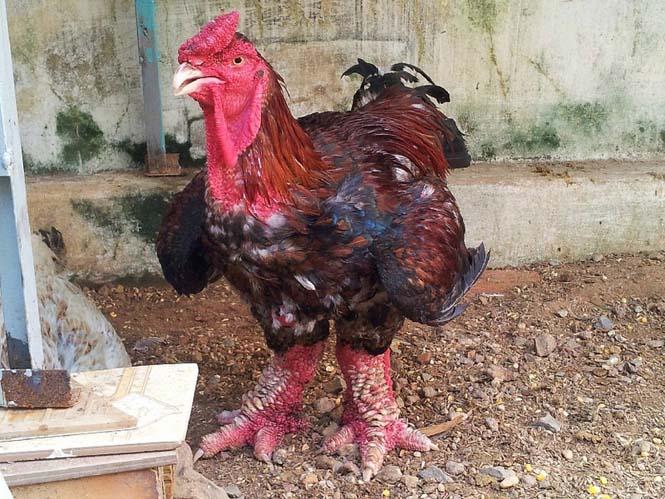 Κοτόπουλα με υπερφυσικα πόδια!