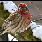 Γιατί τα πουλιά φουσκώνουν το φτέρωμά τους.