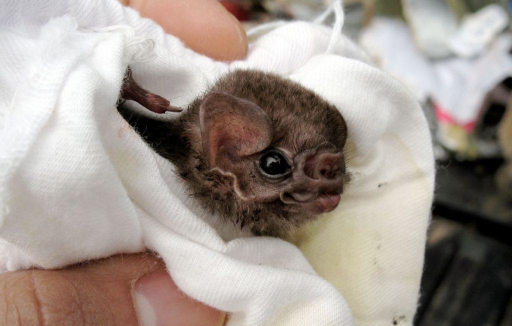 Έρευνα: Νυχτερίδες-βαμπίρ τρώνε πια (και) ανθρώπινο αίμα.