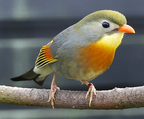 Pekin Robin – Αηδονι Πεκινου ( Leiothrix lutea).
