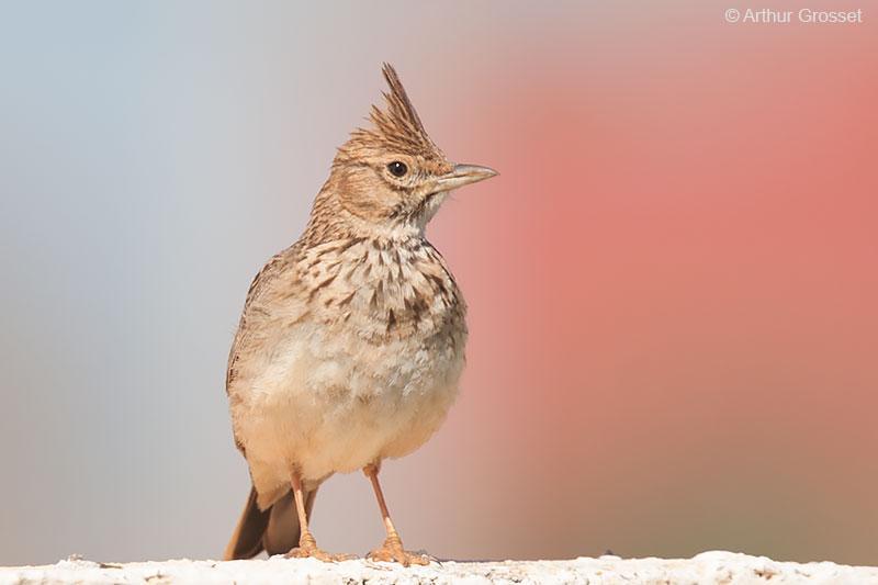 Εξαφανίζονται τα πουλιά που ζουν στην ύπαιθρο στη Γαλλία..