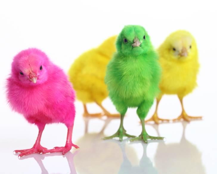 Τα χρωματιστά κοτοπουλάκια…