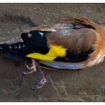 Μην… φαρμακώνετε τα πουλιά λέει ο Κυνηγετικός Σύλλογος…