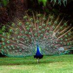 Ένα Πανέμορφο Πουλί με Φτέρωμα Γεμάτο «Μάτια…