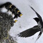 Γνωρίζοντας τα χελιδόνια… Οδηγίες κατασκευής φωλιάς!!!