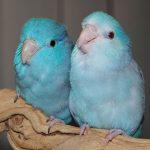 Μικροί και αξιαγάπητοι παπαγάλοι parrotlet που κλέβουν την καρδιά όλων όσων τους αντικρύζουν!!