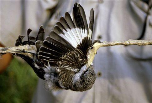 Εκατομμύρια πουλιά από τα ξόβεργα και τα δίχτυα, καταλήγουν στις κυπριακές ταβέρνες…
