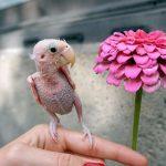 Ρέα: Ένα παπαγαλάκι χωρίς φτερά, αλλά με πολλή αγάπη (video, εικόνες).