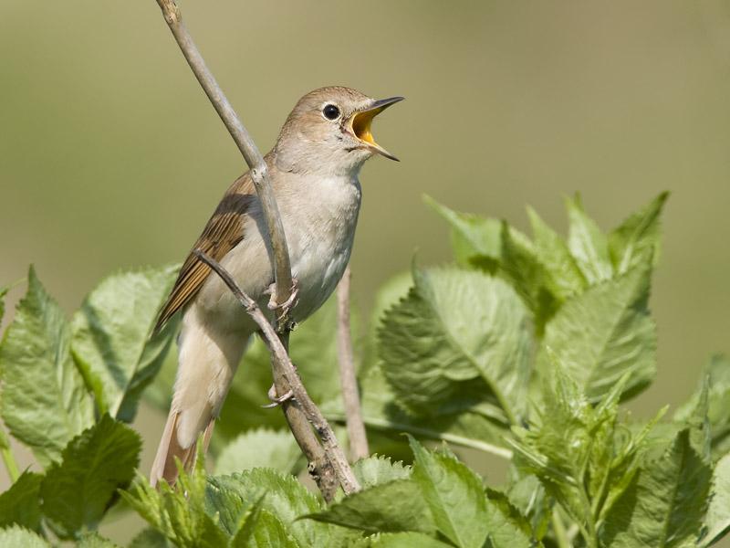Αηδόνι. Ο βασιλιάς των ωδικών πτηνών…