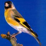 Πίνακας υβριδισμου ωδικών πουλιών.