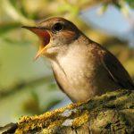 Ένα ενδιαφέρων άρθρο από τους παρατηρητές πουλιών που εξηγούν κάποια πράγματα για το κελάηδημα των πουλιών.