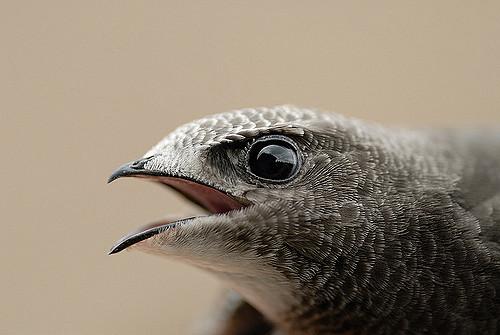 Ποιο είναι το ταχύτερο πουλί πάνω στην Γη?