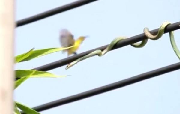 Καταδίωξη πουλιού σε καλώδια της ΔΕΗ από… φίδι!!! (βίντεο)