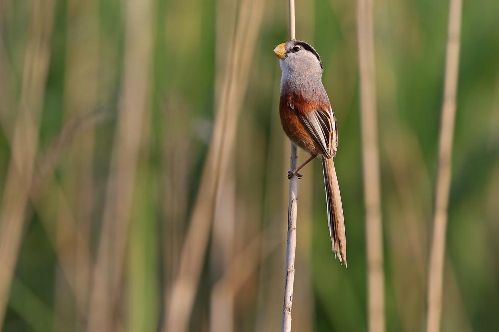Parrotbill το σπάνιο πτηνό που εντοπίστηκε στην Κίνα.
