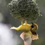 Το σπουργίτι υφαντής! Το αρσενικό πλέκει περίτεχνες φωλιές για να προσελκύσει το θηλυκό.
