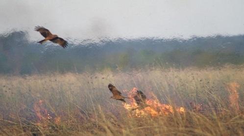 Τα «γεράκια της φωτιάς»: Γιατί τα αρπακτικά πτηνά της Αυστραλίας βάζουν φωτιές στα δάση?