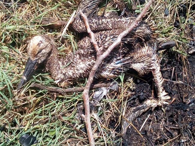 Νεκροί οι πελαργοί μετά από βραχυκύκλωμα σε κολώνα της ΔΕΗ στον Κάμπο Αμπελακίου..