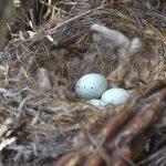 Κάτι περίεργο!! Γιατί τα πουλιά βάζουν αποτσίγαρα στις φωλιές τους;