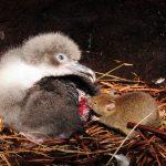 Ο σοκαριστικός λόγος που ξαφνικά τα ποντίκια άρχισαν να τρώνε ζωντανά τα άλμπατρος…