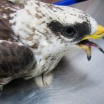 Τι κάνουμε αν δούμε ένα τραυματισμένο πτηνό.