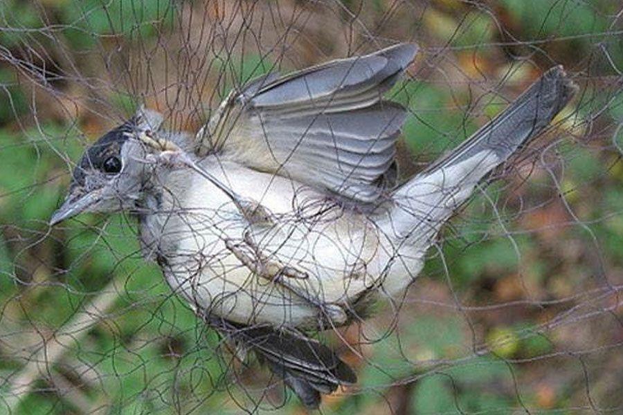 Τον έπιασαν επ' αυτοφώρω να παγιδεύει πουλιά…