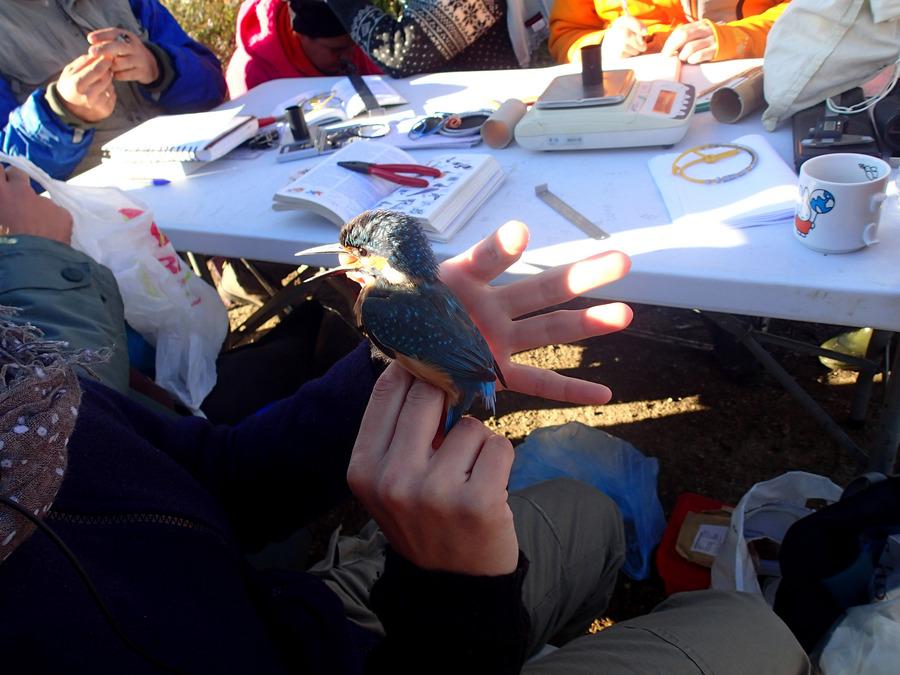 Δακτυλίδια σε 246 πουλιά στο Δάσος Απολλωνίας στην Χαλκιδική.Δακτυλίδια σε 246 πουλιά πέρασαν στο Δάσος Απολλωνίας μέλη του Φορέα Διαχείρισης Κορώνειας Βόλβης Χαλκιδικής. Τους έστησαν δίχτυα για να τα πιάσουν.