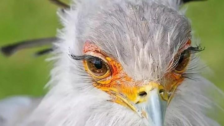 Εντυπωσιακό πτηνό με μεγάλες βλεφαρίδες!!