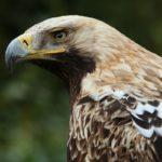 Βασιλαετός (Aquila heliaca). Μια πραγματική δύναμη της φύσης..