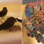 Κρυμμένα 34 πτηνά σε ρόλεϊ για τα μαλλιά…