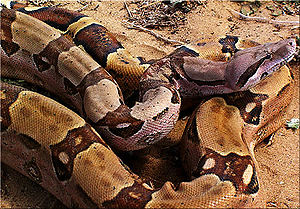 Φίδι δάγκωσε στήθος κοπέλας και πέθανε από την σιλικόνη!