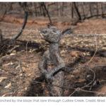 Ανυπολόγιστη οικολογική καταστροφή στην Αυστραλία από τις πυρκαγιές. Σκοτώνουν τα ζώα τους για να μην υποφέρουν!